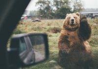 В США испуганный медведь застрял в авто и начал сигналить