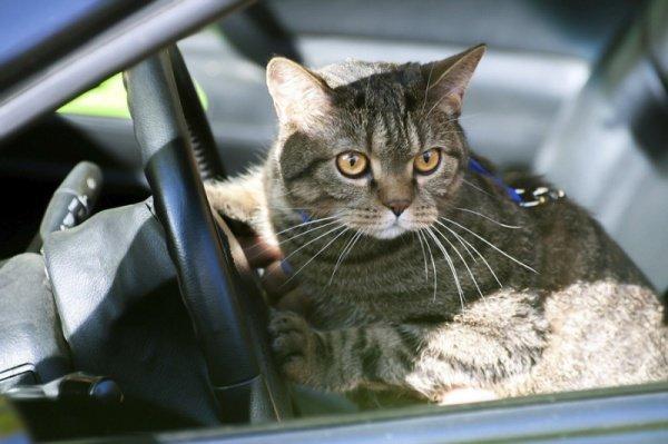 ВСША кошка промчалась накрыше автомобиля по высокоскоростной трассе