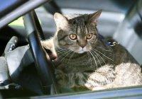 США кот промчался на машине со скоростью 100 км/ч  (ВИДЕО)