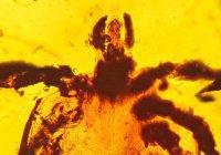 Древнего «невезучего клеща» нашли в янтаре