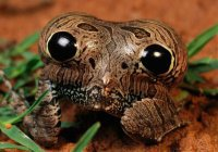 Лягушка с фальшивыми глазами найдена в Бразилии