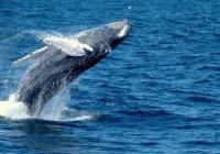 В Красном море впервые замечен голубой кит
