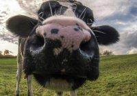 В Ульяновской области гаишник оштрафовал коров