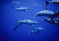 В Калифорнии сняли 1500 дельфинов «на прогулке» с 2 китами (ВИДЕО)