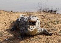 В Эфиопии крокодил съел священнослужителя