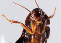 Ученые: Ухо человека — лучший дом для тараканов