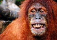 Гигантская обезьяна атаковала экскаватор (ВИДЕО)