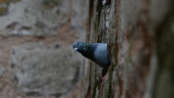Голубя заподозрили в шпионаже.