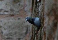 В Индии схватили «пакистанского голубя-шпиона»