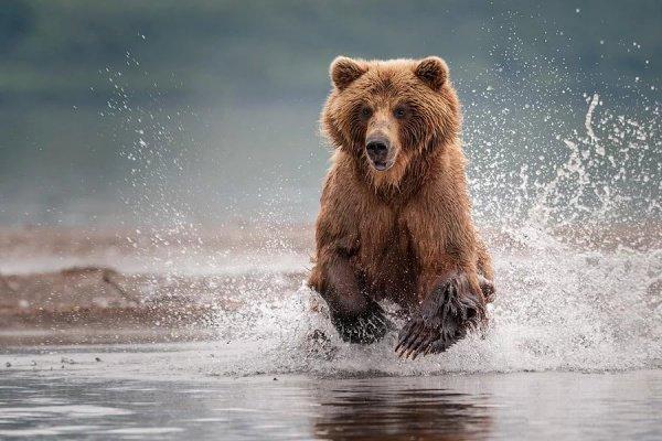 В него загружаются несколько видов медведей, которые ведут себя по-разному при встрече с человеком