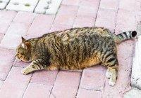 Растолстевшего втрое кота спасли в Калифорнии (ВИДЕО)