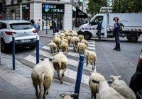 Пригороды Парижа захватили овцы