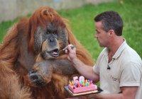 Умер самый старый орангутанг в мире