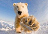 Ученые превратят людей в белых медведей