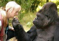 Единственная «говорящая» горилла Коко умерла в Сан-Франциско (ВИДЕО)