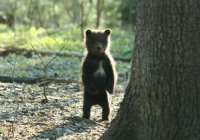 На Камчатке медвежонок сделал самое милое в мире видеоселфи