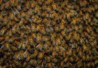 Предсказан пчелиный апокалипсис в 2035 году