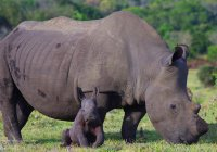 В ЮАР редкого белого носорога убили из-за сантиметра рога