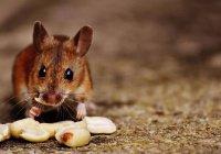 Мышь-Неймар произвела фурор в Интернете (ВИДЕО)