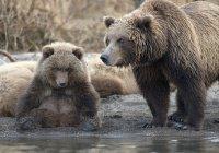 Город в России оккупировали медведи