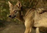 Редкого волка спасли от голодной смерти в Индии