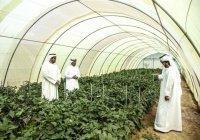 Крупнейшая в мире овощная ферма появится в Дубае