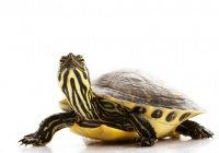 В Эстонии черепаха через 3 года вернулась к хозяину