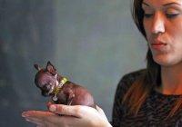 Самую крошечную собаку на планете клонировали 49 раз