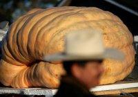 В Китае фермер вырастил гигантскую тыкву (ВИДЕО)
