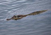 В Индонезии мать отбила сына у крокодила