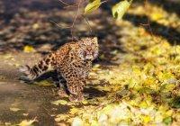 Во Владивостоке маленького леопарда воспитывает собака (ВИДЕО)