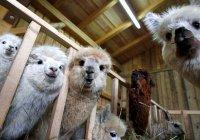 В Дании ламы спасут овец от волков