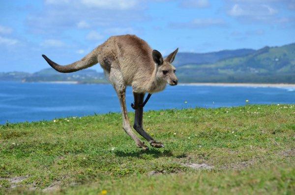 Под влиянием этого растения кенгуру теряют способность ориентироваться в пространстве и совершать прямые прыжки