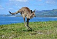 В Австралии кенгуру устроил бешеные скачки из-за травы (ВИДЕО)