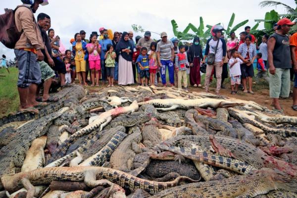 После похорон мужчины местные жители отправились на крокодилью ферму, где расправились со всеми ее обитателями — 292 животными