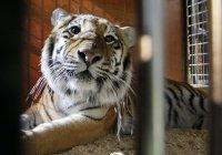 В Чехии нашли тигров и льва, сбежавших из зоопарка