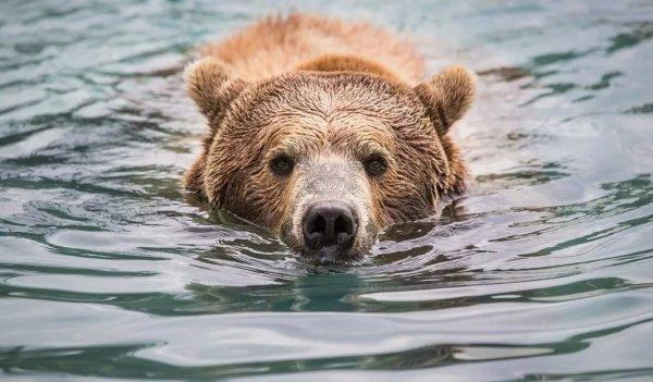 Медведь гризли напал накаякеров вКанаде