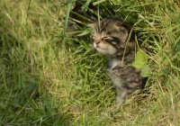 Самых редких котят в мире нашли в горах Шотландии