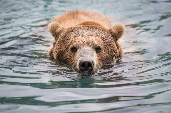 За 2 года количество бурых медведей в стране упало на 36% — с 225 тыс. особей до 143 тыс.