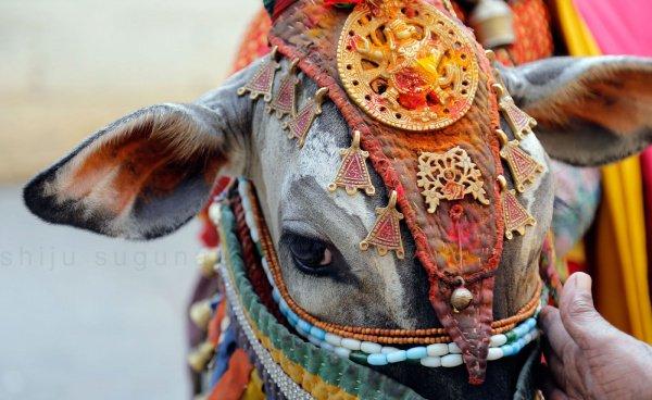 Корова для индусов является священным животным