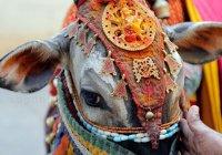 В Индии до смерти забили фермера, который вел корову