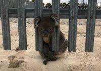 Самую неудачливую коалу нашли в Австралии