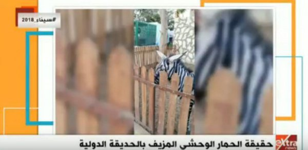 Перекрашенный в зебру осел.