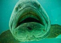 В США рыба проглотила пойманную рыбаками акулу (ВИДЕО)