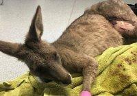 В Мельбурне кенгуру разгромил дом