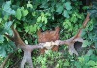 Украдены самые большие в Европе лосиные рога