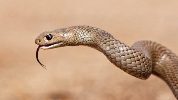 Эти рептилии вырастают до 1,5 м в длину и очень ядовиты