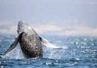 На Чукотке серый кит «почесался» о берег (ВИДЕО)