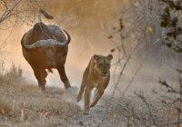В ЮАР буйвол прогнал львицу (ВИДЕО)