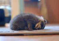 Кошка усыновила енотов в Новосибирском зоопарке (ВИДЕО)